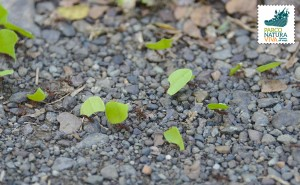 Formica tagliafoglie