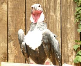 Avvoltoio reale indiano, l'unico pulcino d'Europa