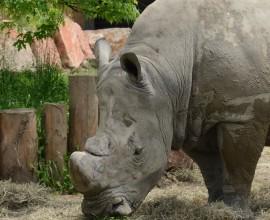 Benno, il Rinoceronte bianco