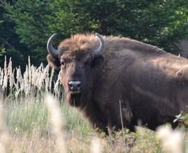 Il bisonte Ulisse, 40 miliardi di passi