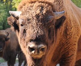 Domenica 10 -  bisonti
