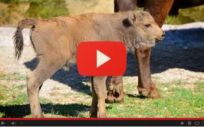 La nascita di Julo il bisontino