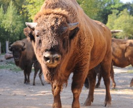 European Bison Project