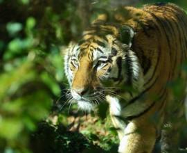 Tris di tigrotti siberiani