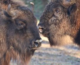 Arrivato un giovane bisonte