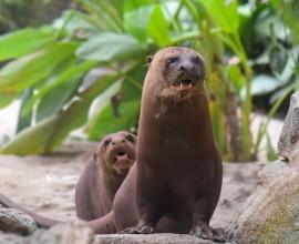 Pranzo del primo dell'anno per le lontre giganti