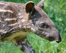 Ester, la tapira a strisce