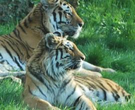 Keeper per un giorno - Tigre