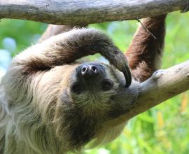 L'abbraccio del bradipo