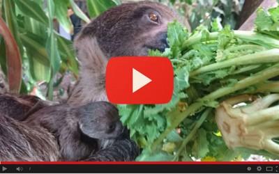 Wendy dà alla luce un piccolo bradipo