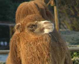Keeper per un giorno - cammelli