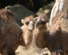 Bactrian Camel Project