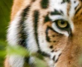 Dom 31 Tiger day