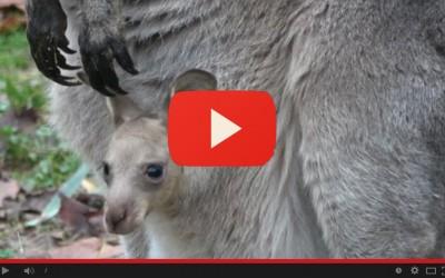 Con la testa fuori dal marsupio: è nato il piccolo canguro di Mr e Mrs Grey