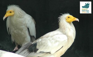 Avvoltoio capovaccaio africano