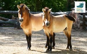 Cavallo di Przewalski