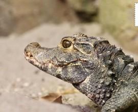 Coccodrillo nano africano