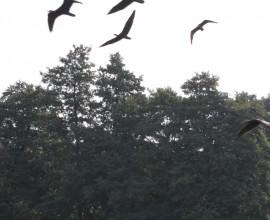 4a e 5a tappa - IV migrazione ibis eremita