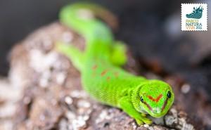 Geco diurno del Madagascar