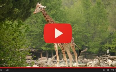 Giornata internazionale della giraffa, 21 giugno 2017