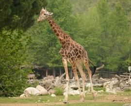 21 giugno, giornata internazionale della giraffa