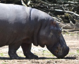 Gonzalo non c'è più: si è spento il secondo ippopotamo più anziano d'Europa