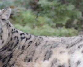 Leopardi delle nevi a rischio estinzione: nuova spedizione in Mongolia