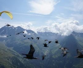 Conclusa la 14^ migrazione guidata degli ibis eremita
