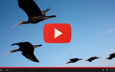 Ibis eremita, migrazione primaverile