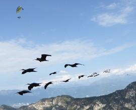 Ibis eremita: V migrazione guidata dall'uomo