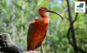 Ibis rosso