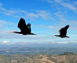 La terza migrazione degli ibis eremita