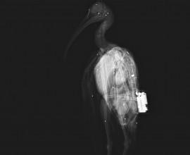Secondo ibis eremita impallinato durante la migrazione autunnale