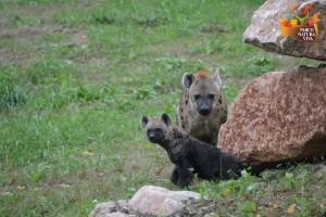 Cucciolo di iena