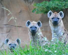 Tre iene maculate e una girandola d'acqua