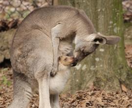 È nato un piccolo canguro