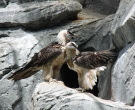 San Valentino in cova per gli avvoltoi gipeti