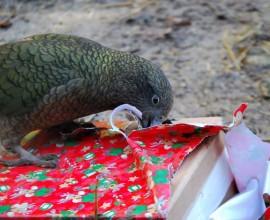 Il kea alle prese con pacchi natalizi