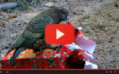 Il kea apre i pacchi di Natale!