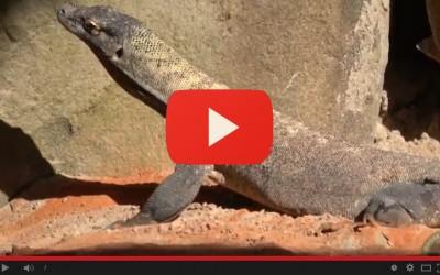E' arrivato il drago di Komodo al Parco Natura Viva - House of Giants