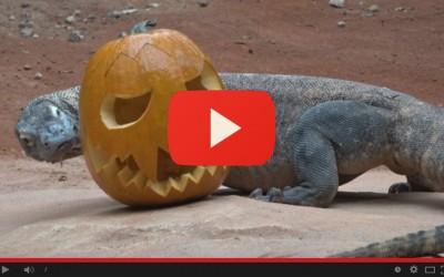 I giganti alle prese con le zucche: è Halloween per i draghi di Komodo e per le lontre giganti