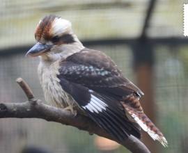 Kookaburra sghignazzante