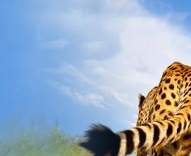 L'incontro tra Laurie Marker e i ghepardi