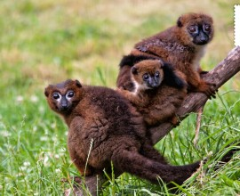 Lemure dal ventre rosso