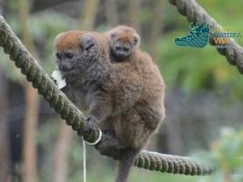Lemure del Bambù