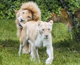 Sotto minaccia gli ultimi 13 leoni bianchi del Timbavati