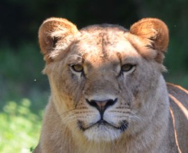 Keeper per un giorno: leone