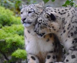 La nuova coppia di Leopardi delle Nevi
