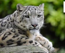 Giornata Internazionale del Leopardo delle Nevi