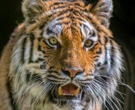La tigre siberiana
